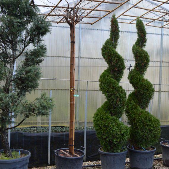 Morus Platanifolia - Dud Umbrela