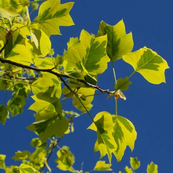 Liriodendron Tulipifera Aureomarginatum - Arbore Lalea Aureo