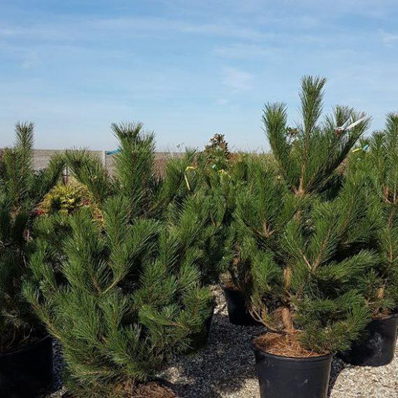 Pinus Nigra - Pinul Negru