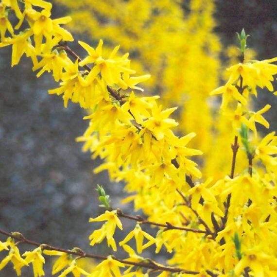 Forsythia Int. Spectabilis - Ploaia de Aur
