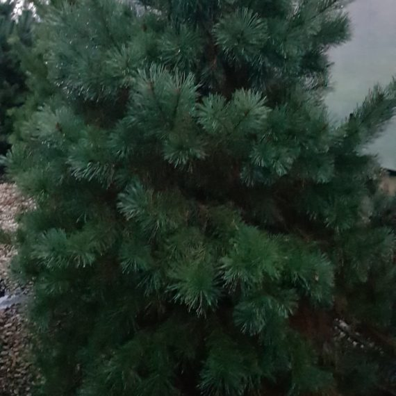 Pinus Sylvestris - Pin de Padure - CON XXTRA