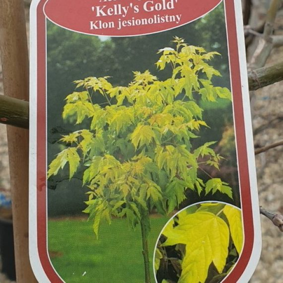 Acer Negundo Kelly's Gold - Artarul American Auriu