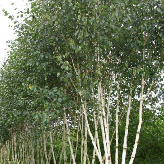 Betula Utilis - Mesteacan Multitrunchi
