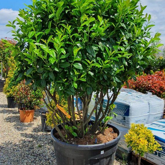 Prunus Laurocerasus CLOUD - Multitrunchi 175-200 cm