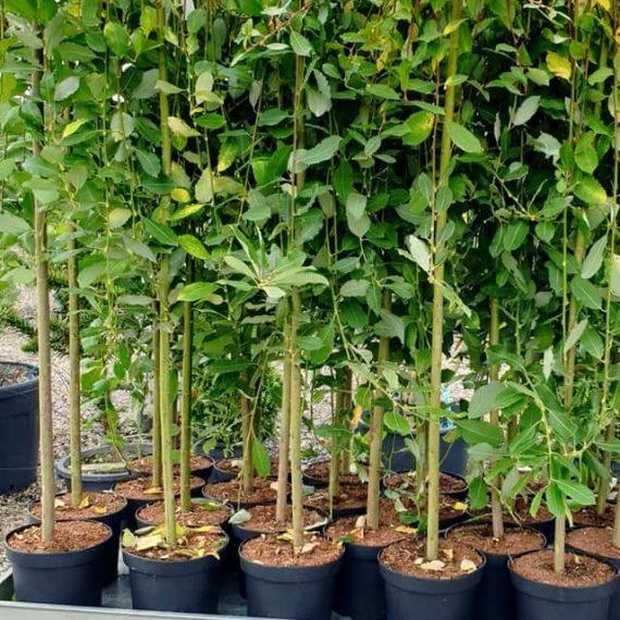 Salix Caprea  130-150 cm