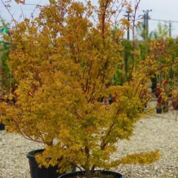 Acer Palmatum Sango Kaku - Corallinum