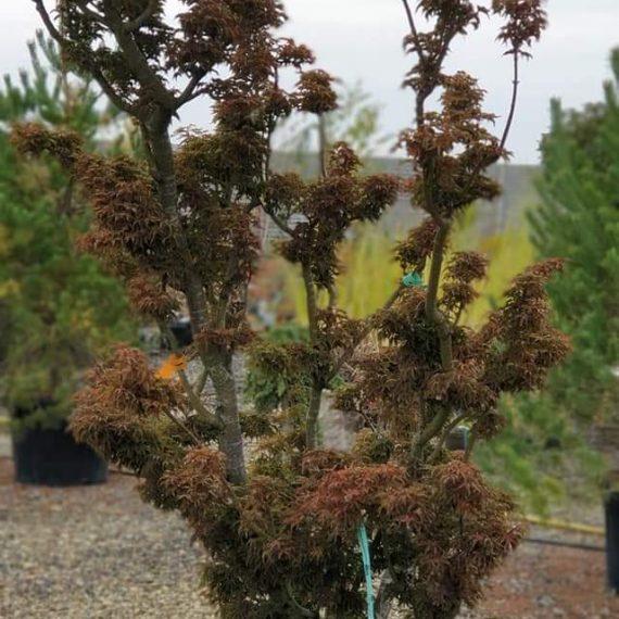Acer Palmatum Shishigashira - Crispifolium