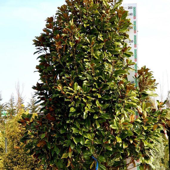 MAGNOLIA Grandiflora Goliath Praecox - 300-350