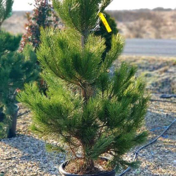 Pinus Nigra 125-150 cm