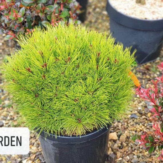 Pinus Nigra - Marie Bregeon
