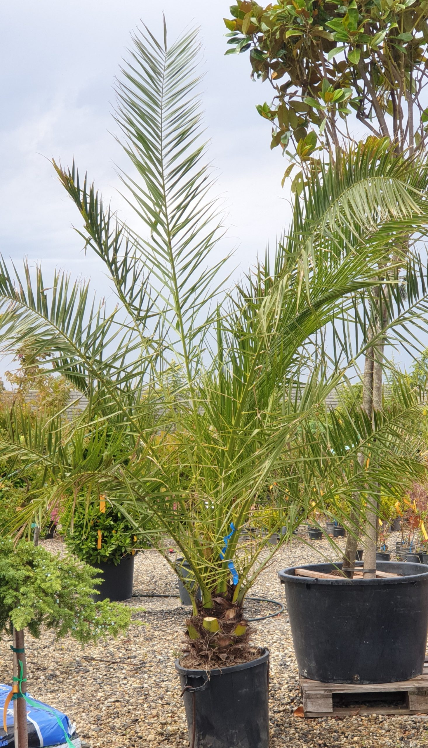 Palmieri - Phoenix Canariensis 270 cm