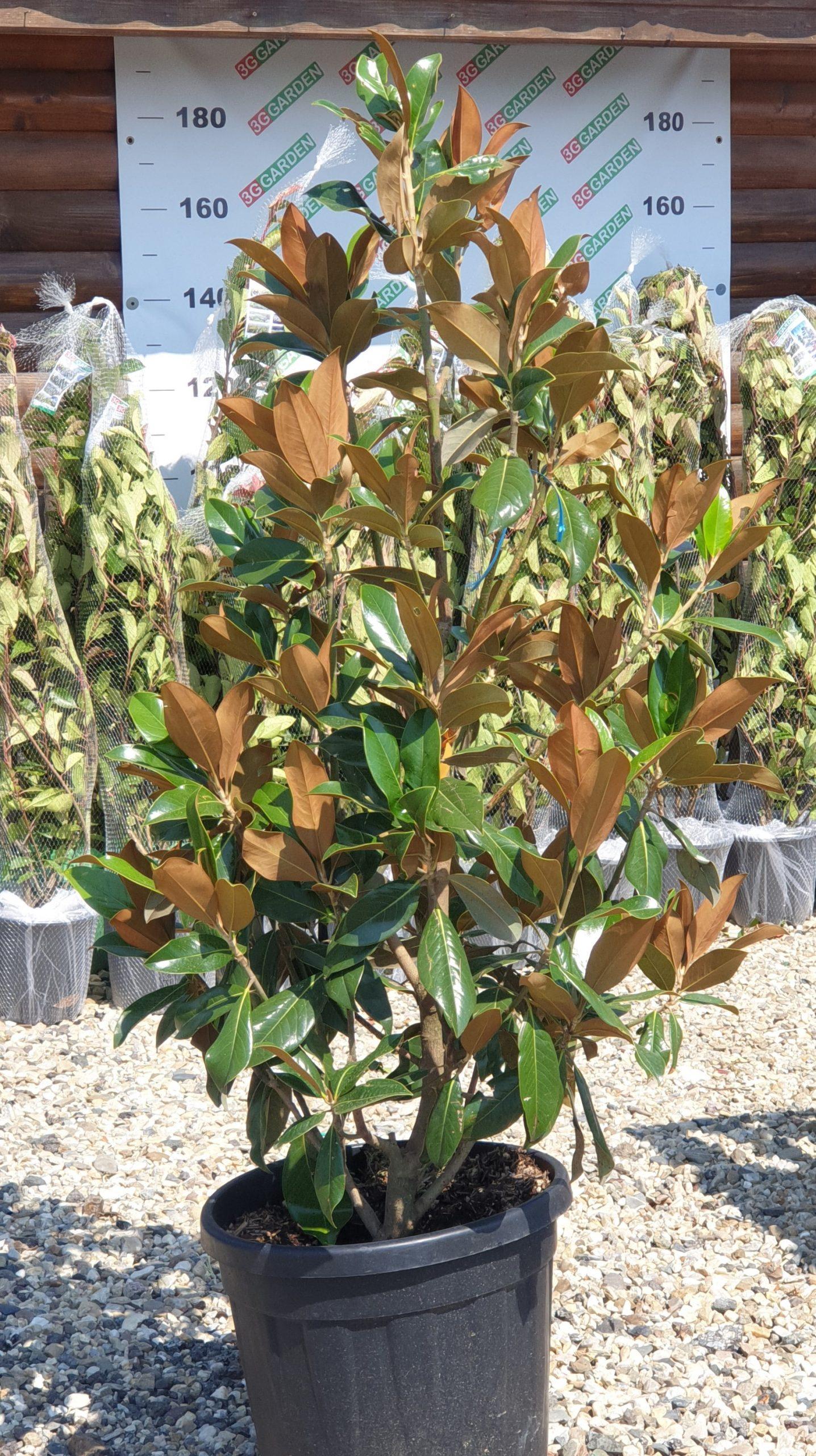 Magnolia Grandiflora - 140-150