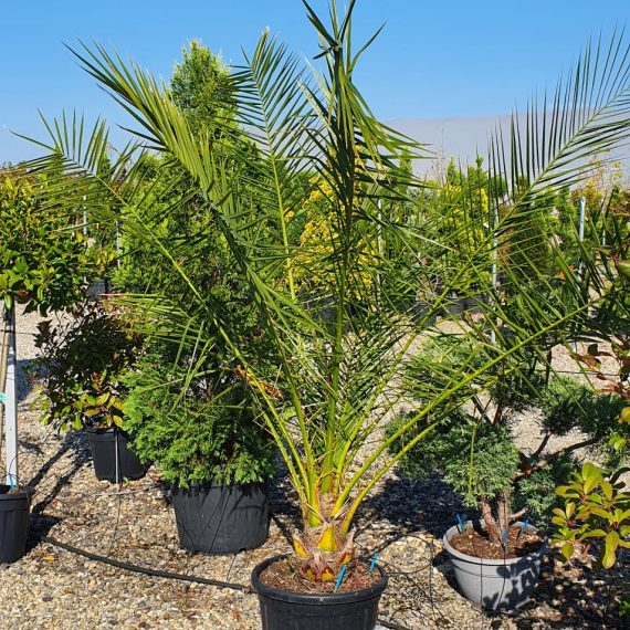Palmieri - Phoenix Canariensis 160 cm