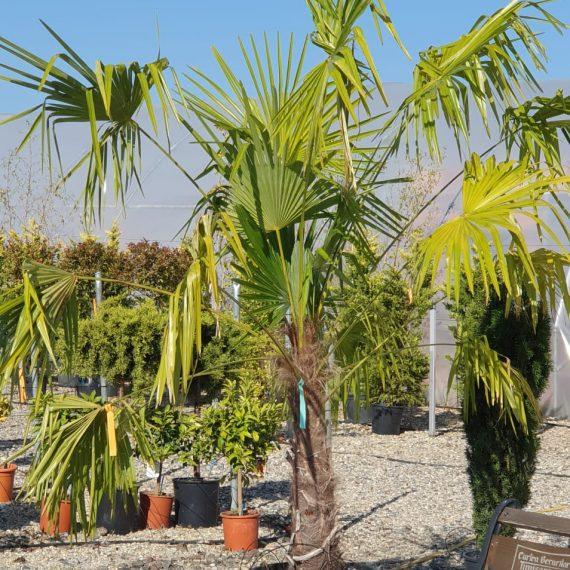 Palmier - Trachycarpus Fortunei Excelsus 200 cm