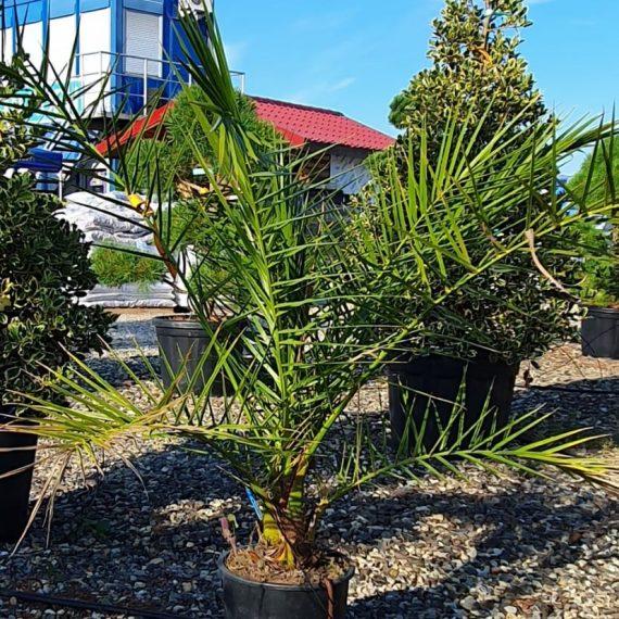 Palmieri - Phoenix Canariensis 80-100 cm