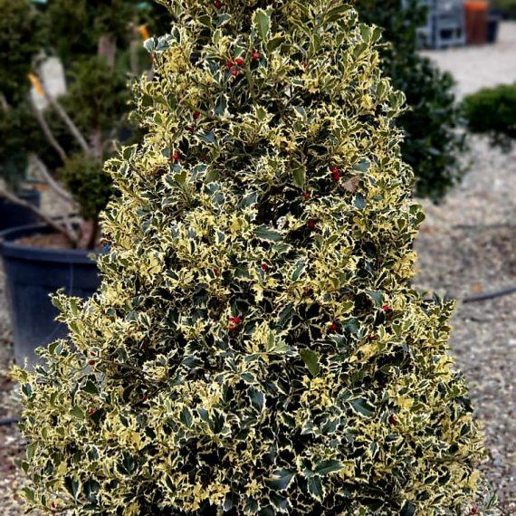 Ilex Aquifolium Bicolor 110 cm