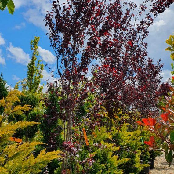 Prunus Pissardi Nigra - Cireș Japonez 300 cm