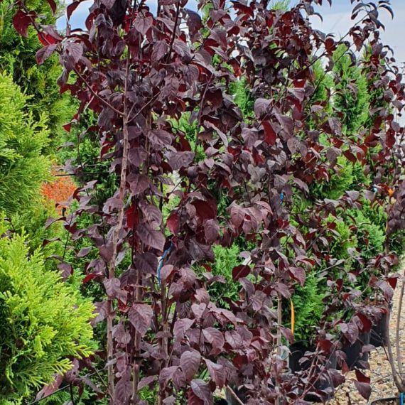 Prunus Pissardi Nigra - Cireș Japonez 200 cm